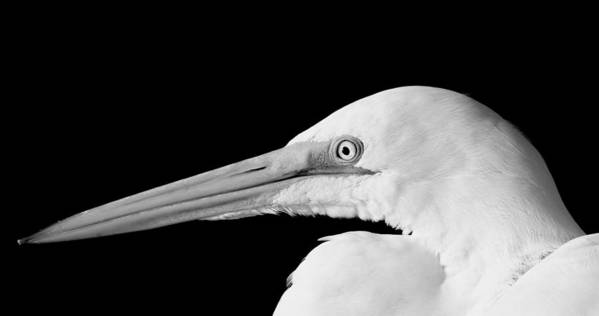 White Egret Poster featuring the photograph White Egret Large Print by Rosanne Jordan
