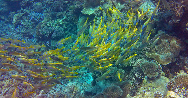 Tropical Fish Poster featuring the photograph Yellow by Corinne Rhode