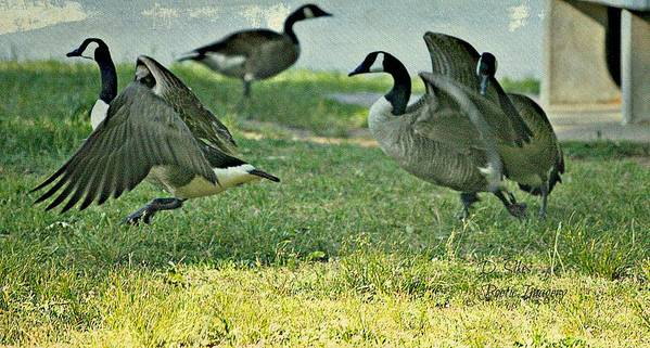 Geese Poster featuring the photograph Pecking Order by Debbie Sikes