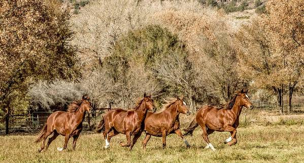 Horse Poster featuring the photograph Running Horses by Peggy Blackwell