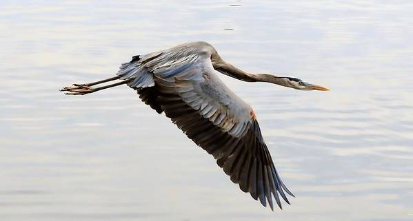 Blue Heron Flyby Poster featuring the photograph Blue Heron Flyby by William Bosley