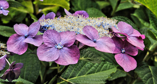 Lacecap Hydrangea Photography Poster featuring the photograph Petal Paddy by Kathleen Sartoris