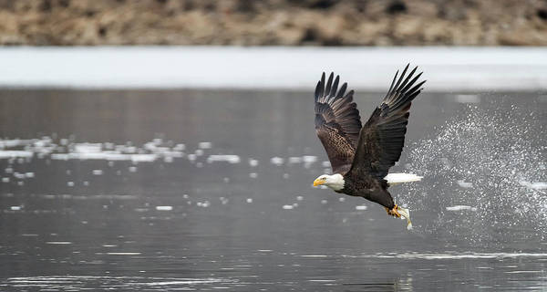 Bald Eagle Poster featuring the photograph Splash And Grab by Bruce Neumann