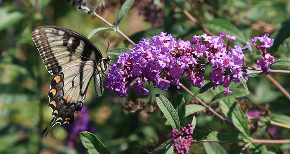 Tiger Swallowtail Flowers Hot Summer Eastern Nebraska Sunken Garden Poster featuring the photograph Tiger On Lavender by J Laughlin