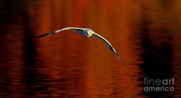 Wildlife Poster featuring the photograph Flying Gull On Fall Color by Robert Frederick