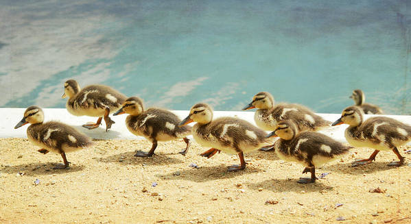 Ducklings Poster featuring the photograph March Of The Ducklings by Fraida Gutovich