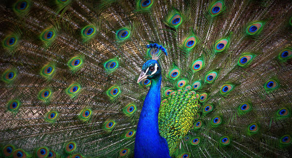 Peacock Poster featuring the photograph Peacock by Rob Andrus