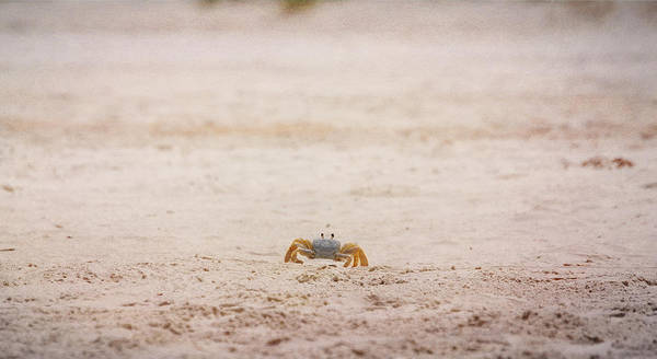 Crab Poster featuring the photograph She Is Coming by Judy Hall-Folde