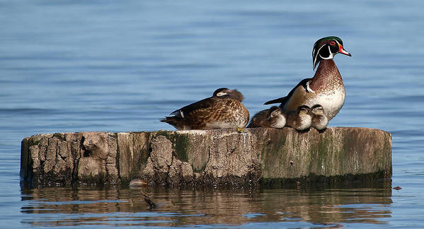 Aix Sponsa; Wood Duck; Male Wood Duck; White Rock Lake; Dallas Texas; Sunset Bay; Aquatic Bird; Aquatic; Water Fowl; Female Wood Duck; Duck; Baby Wood Ducks; Baby Ducklings; Ducklings; Sleeping; Standing Guard; Family Poster featuring the photograph Family by Kala King