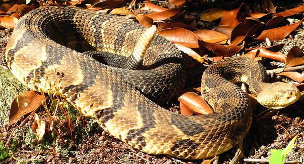 Maryland Timber Rattlesnake Photograph Timber Rattlesnake Canvas Prints Venomous Snake Pit Viper Appalachian Mountain Forest Ecology Reptile Biodiversity Nature Wildlife Fauna Poster featuring the photograph Timber Rattlesnake Horizontal by Joshua Bales