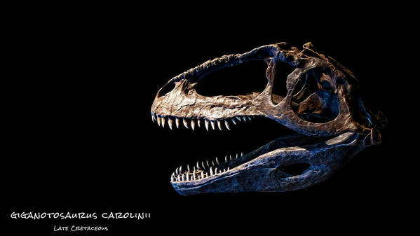 Giganotosaurus Carolinii Skull Poster featuring the photograph Giganotosaurus Skull 3 by Weston Westmoreland