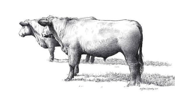 Black Angus Poster featuring the drawing Black Angus Steers On Almshouse Road by William Beauchamp