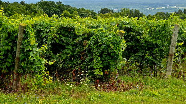 Vineyard Poster featuring the photograph Finger Lakes Vineyard by Frozen in Time Fine Art Photography