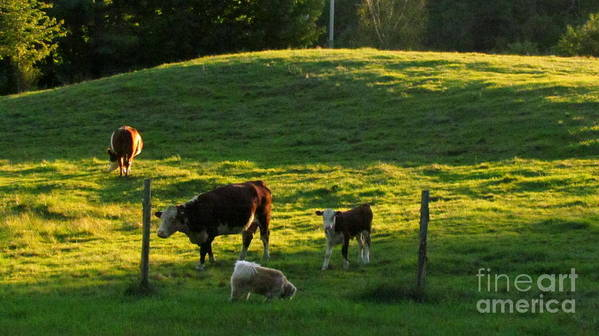 Cows Poster featuring the photograph In The Field by Randi Shenkman