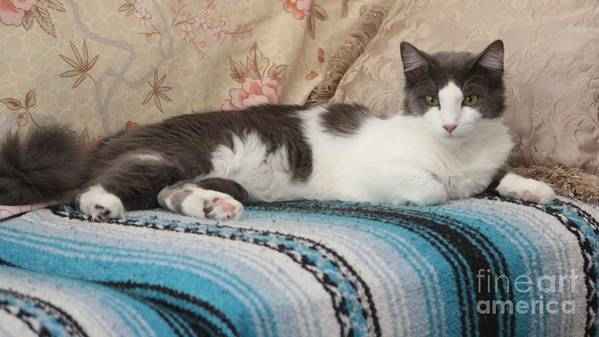 Cat Poster featuring the photograph Lounging Cat by Michelle Powell
