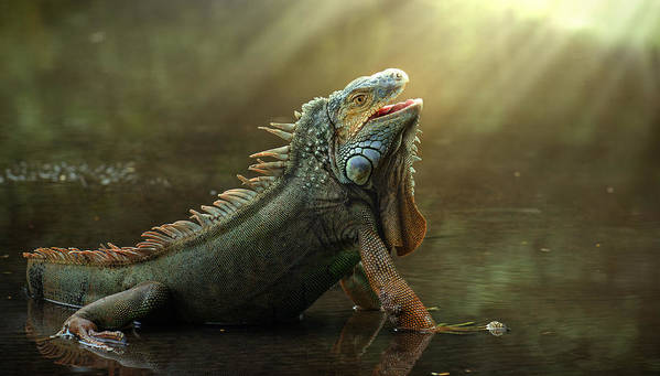 Lizard Poster featuring the photograph Morning Light by Fahmi Bhs