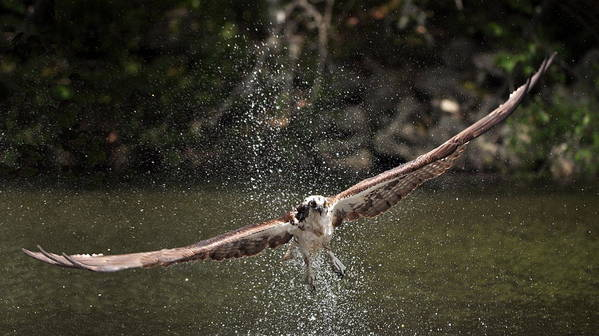 Nature Poster featuring the photograph Osprey Fishing The Nequasset River by Allen Ponziani