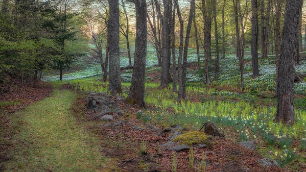 Daffodil Poster featuring the photograph Path To The Daffodils by Bill Wakeley