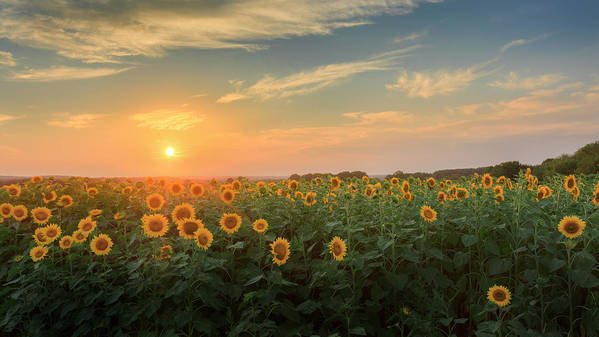Sunflower Poster featuring the photograph Sunflower Sundown by Bill Wakeley