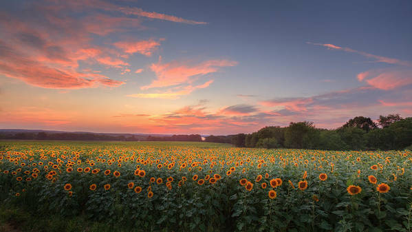 Sunflower Poster featuring the photograph Sunflower Sunset by Bill Wakeley