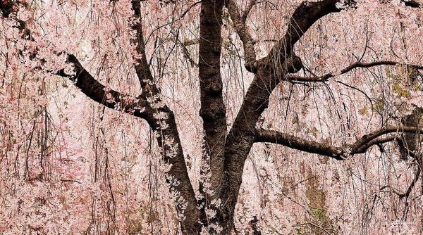 Peace Poster featuring the photograph Blossom Rain by Deborah Crew-Johnson