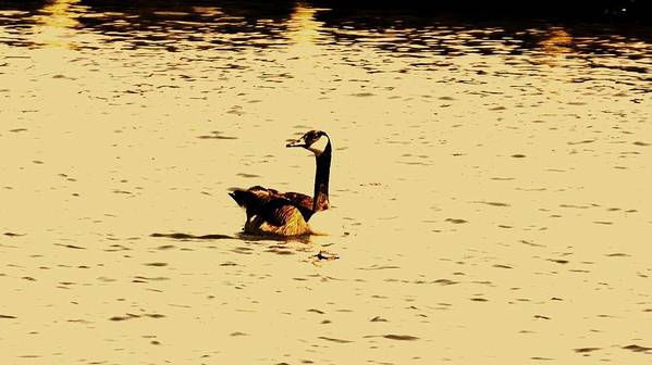 Wildlife Poster featuring the photograph Canadian Goose by John Blanchard