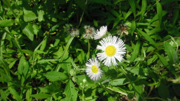 Daisy Poster featuring the photograph Daisy by Karen Trombley