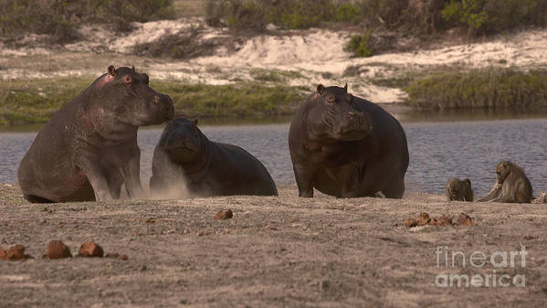 Hippo Poster featuring the photograph Hippos And Baboons by Mareko Marciniak