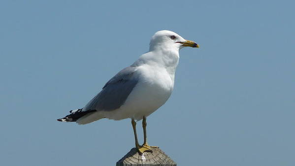 Seagull Poster featuring the photograph Perched Seagull by Michael Carrothers