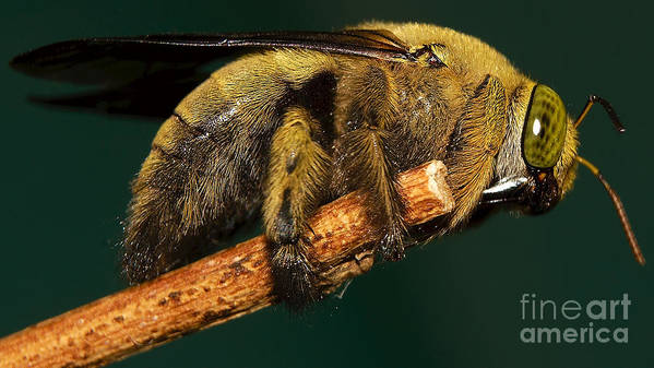 Insect Poster featuring the photograph Unknown Wild Bee by Mareko Marciniak
