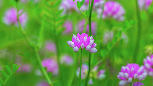 Magenta Wildflowers Poster featuring the photograph Magenta Wildflower by Alex Zabo