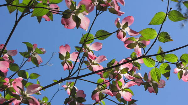 Tree Poster featuring the photograph Pink Dogwood by Sarah Houser