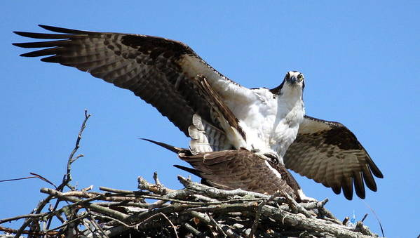 Osprey Poster featuring the photograph The Birds And The Bees by Annie Babineau