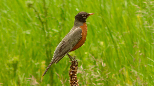 Photo Poster featuring the photograph American Robin by Dan Miller