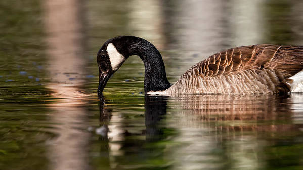 Canada Goose Poster featuring the photograph Canada Goose Reflections by Bill Wakeley