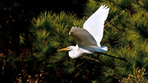 Great Egret Poster featuring the photograph Egret In Flight 1 by Lara Ellis