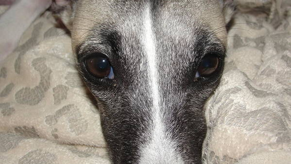 Dogs-animal-dogs-whippet-animals Poster featuring the photograph Eyes Whippet by Marie-france Quesnel