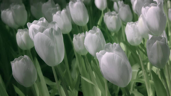 Tulips Poster featuring the photograph Fanciful Tulips In Green by James Barber