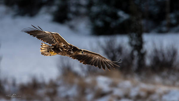 Flying White-tailed Eagle Poster featuring the photograph Flying White-tailed Eagle by Torbjorn Swenelius
