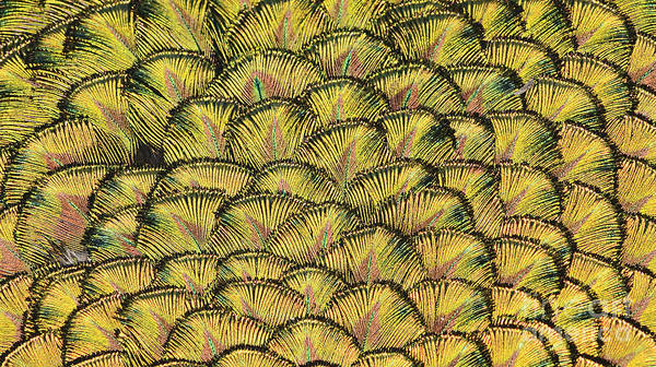 Abstract Poster featuring the photograph Golden Feathers by Marv Vandehey