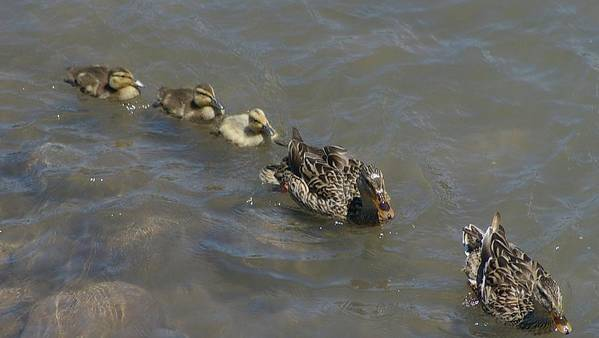 Fowl Poster featuring the photograph Having Your Duckies In A Row by Jeff Swan