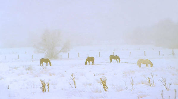 Fog; Mist; Foggy; Misty; Landscapes; Scenery; Scenic; Atmospheric; Snow; Snowy; Winter; Wintry; Cold; Seasons; Seasonal; Weather; Horses; Animals; Farming; Agricultural; Farms; Rural; Country; Farm Animals; Grazing; Grazing Horses; Field; Four Poster featuring the photograph Horses Grazing In A Field Of Snow And Fog by Steve Ohlsen