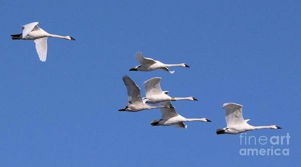 Swan Poster featuring the photograph Majestic Migration by Tim Sevcik