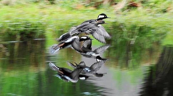 Hooded Merganser's In Flight Poster featuring the photograph Mergansers In Flight by William Bosley