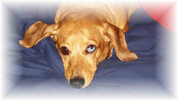 Dachshund Poster featuring the photograph One Blue Eye by Nelson Strong