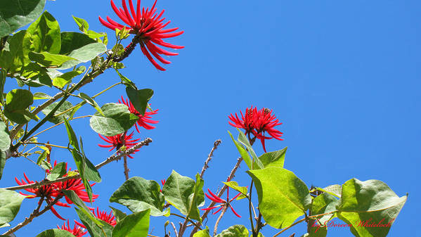 Red Flowers Poster featuring the photograph Red And Green San Diego Flowers by Doreen Whitelock