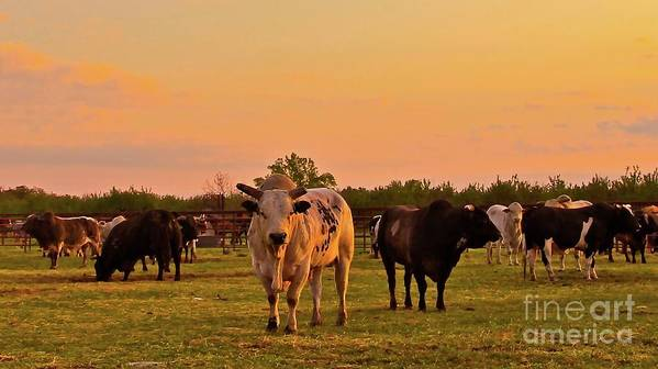 Ranch Poster featuring the photograph Rodeo Bulls At Dawn by Gus McCrea