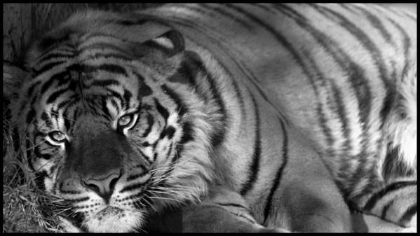 Tiger Poster featuring the photograph Tiger Eyes White by Brad Scott
