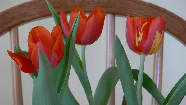 Spring Poster featuring the photograph Tulips For You by Nancie DeMellia