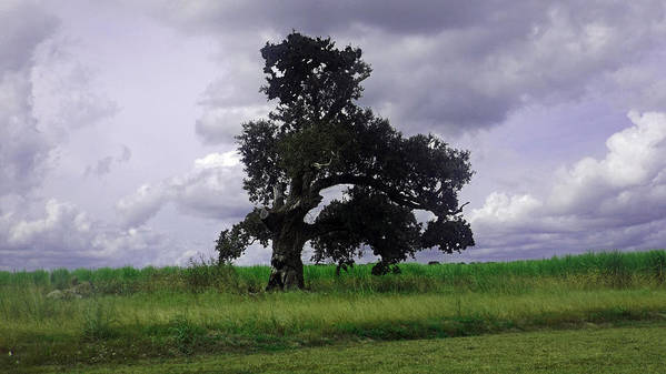 Louisiana Poster featuring the photograph Windswept Tree by Leigh Ann Raab